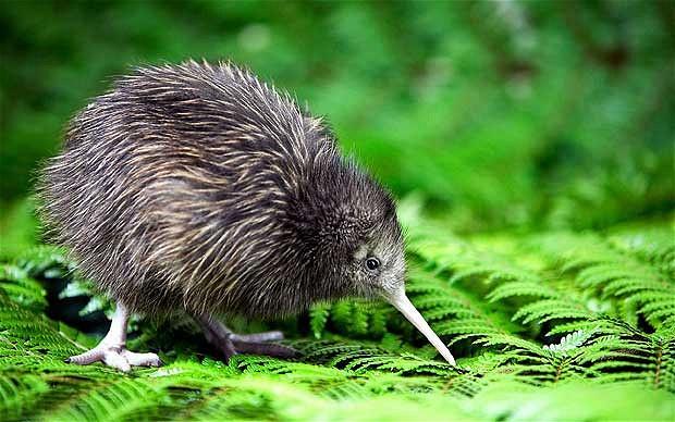 Chim Kiwi là biểu tượng của đất nước New Zealand _ New Zealand - Có thể bạn chưa biết!